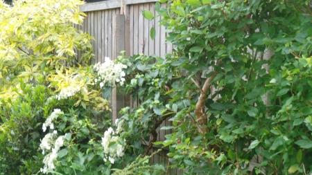 White climbing Hydrangea